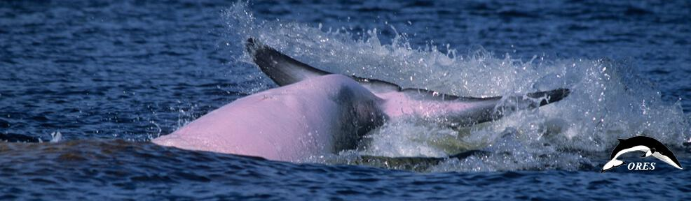 images/phocagallery/headers_ALL/headers_MINKEWHALES/header_minke whales_018_ba_va-013_slash eleven_se032211_ores-ut_r108fr21.jpg