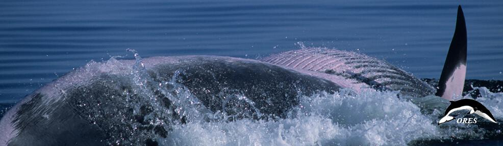 images/phocagallery/headers_ALL/headers_MINKEWHALES/header_minke whales_026_ba_va-020_loca_ju0228 kopie.jpg