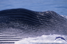 Parallel Lines by a Blue Whale